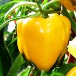 Sweet Yellow Bell Pepper Seedling